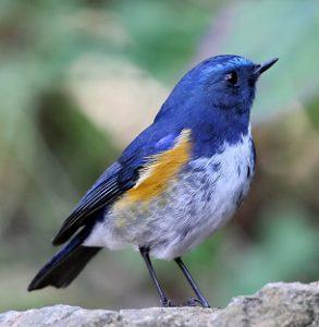 ブルーの色合いがより明るいヒマラヤルリビタキ