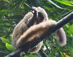 ラノマファナ国立公園の原猿