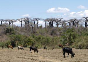 バオバブの大群落とコブ牛のゼブー