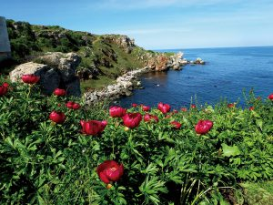 黒海に面して咲くシャクヤク パエオニア・ペリグリナ