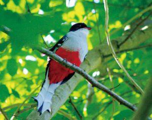 キューバキヌバネドリ 尾羽がギザギザなのが特徴です