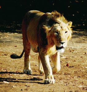 ギル国立公園のインドライオン