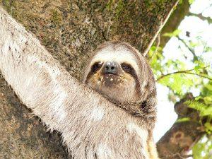 出会いたいミツユビナマケモノ (Three-toed Sloth)