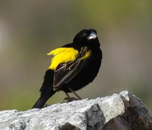 黄色と黒色の配色が鮮やかな、キゴシオウゴンチョウ