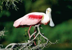 美しい繁殖羽に変わったベニヘラサギ