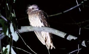 東南アジアでもっとも珍しい珍鳥といわれるサラワクガマグチヨタカ