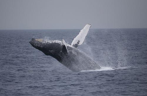 繁殖期のザトウクジラは活動的です