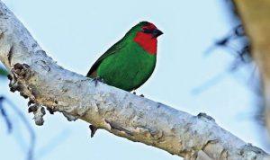 ヒノマルチョウやカレドニアミツスイなどの色鮮やかな小鳥たちも