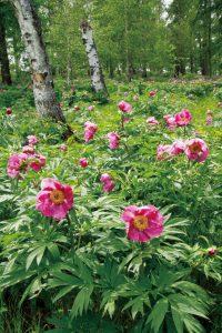 林の中にシャクヤク山 行けども行けども咲いていました
