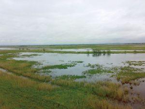 ハンカ湖畔の大湿地には数多くの水鳥が生息しています