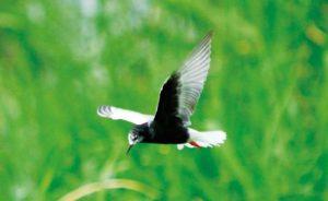 夏羽のハジロクロハラアジサシ