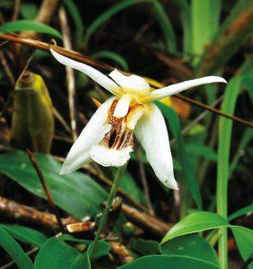 セロジネ・プーヒンロンクラエンシスは新種で固有種のラン