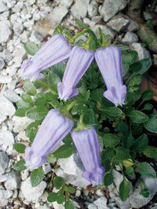 おちょぼ口で岩場に咲くカンパヌラ・ゾイシー (ほぼ原寸大)