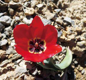 乾燥地に咲く各種チューリップは瑞々しくて生き生きとして魅力的