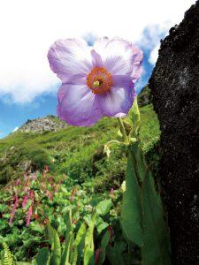 花だけで手のひらいっぱいの大きさのメコノプシス・グランディス・オリエンタリス