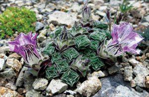 葉の造形が特に美しいゲンチアナ・ウルヌラ