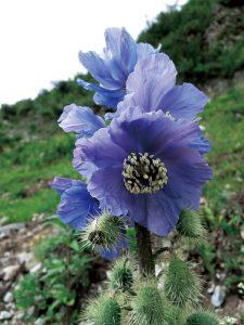 9 種の青いケシのうち シャングリラ周辺で見られるチョンデンエンシス