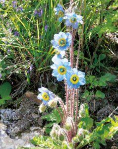 メコノプシス・ラサエンシスは葯の色も美しい