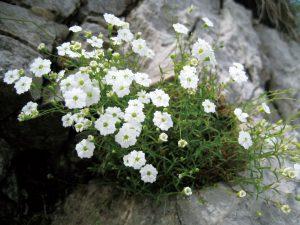 かたまって咲くシレネ・プシラ