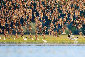 渡り途中のエリマキシギの大群 雄はほとんどの個体が見事な夏羽です
