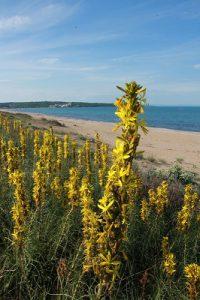海岸沿いで咲くアスフォデリネ・ルテア