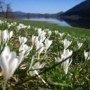 P2_06_3月スロベニアCrocus vernus ssp albus2