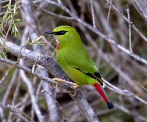 ゴシキチメドリは最も見るのが難しい鳥のひとつ