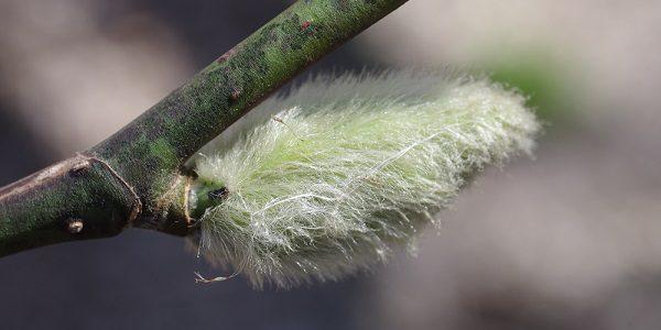 p5_02_コブシの冬芽 0127身近な冬芽観察