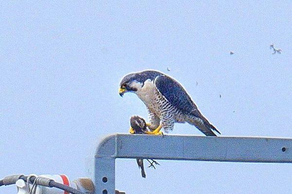 ツアー報告】大洗の海鳥と涸沼の猛禽類 2020年2月15日 ...